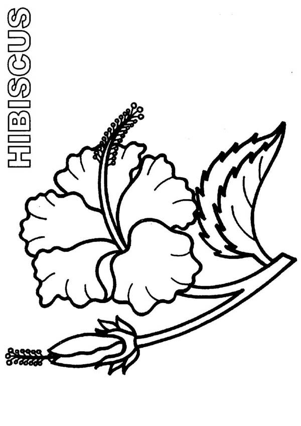 Hibiscus flower drawing clipart best for Hibiscus coloring page