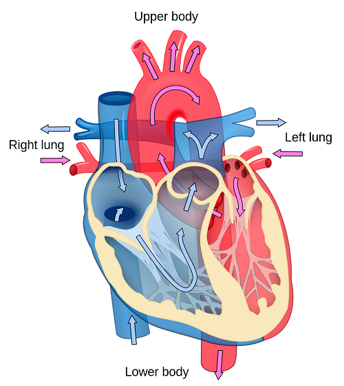 Heart Diagram Unlabeled Kids Heart Diagram Unlabeled