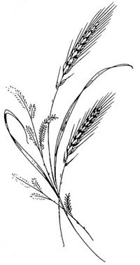 Drawing Wheat Plant - ClipArt Best