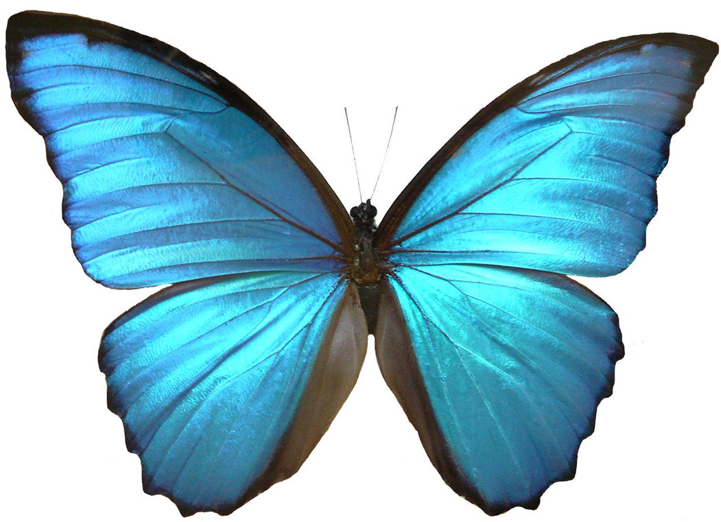new blue butterfly pictures -#main