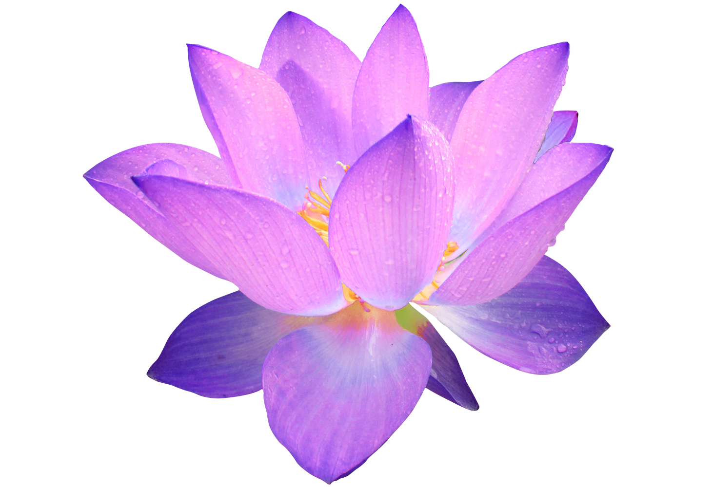 Lotus Flowers - ClipArt Best