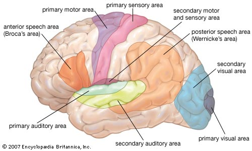 Free Inspired: human brain diagram