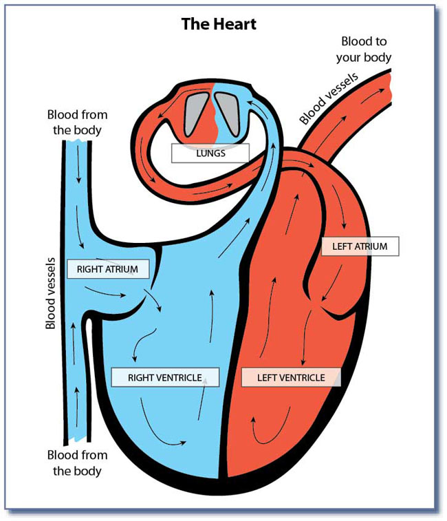 Unlabeled Diagram Of Heart - ClipArt Best