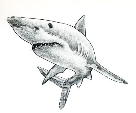 Shark Sketch - ClipArt Best