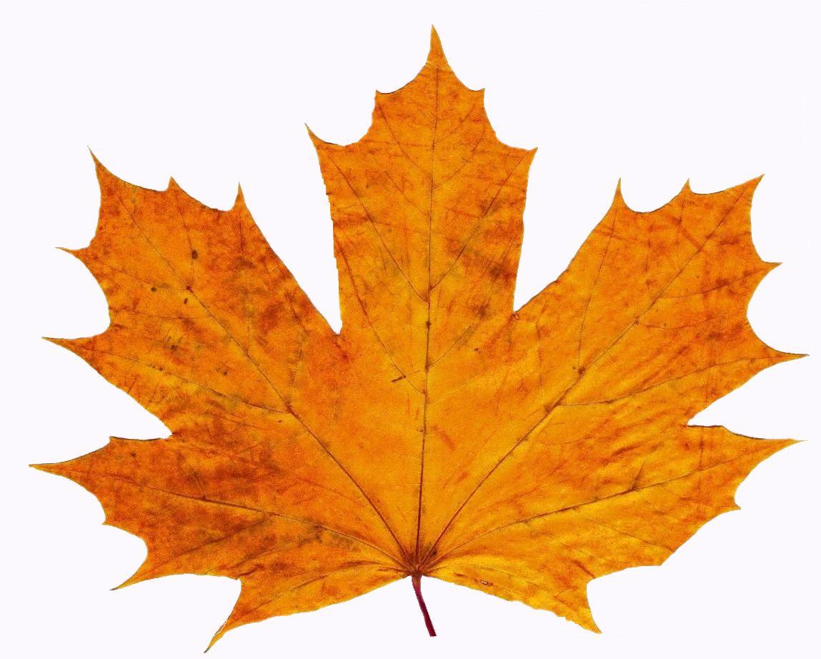 Orange Leaf Clipart Best