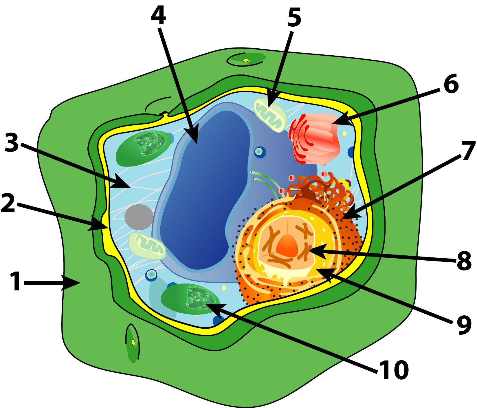 Unlabelled Cell Diagram Clipart Best