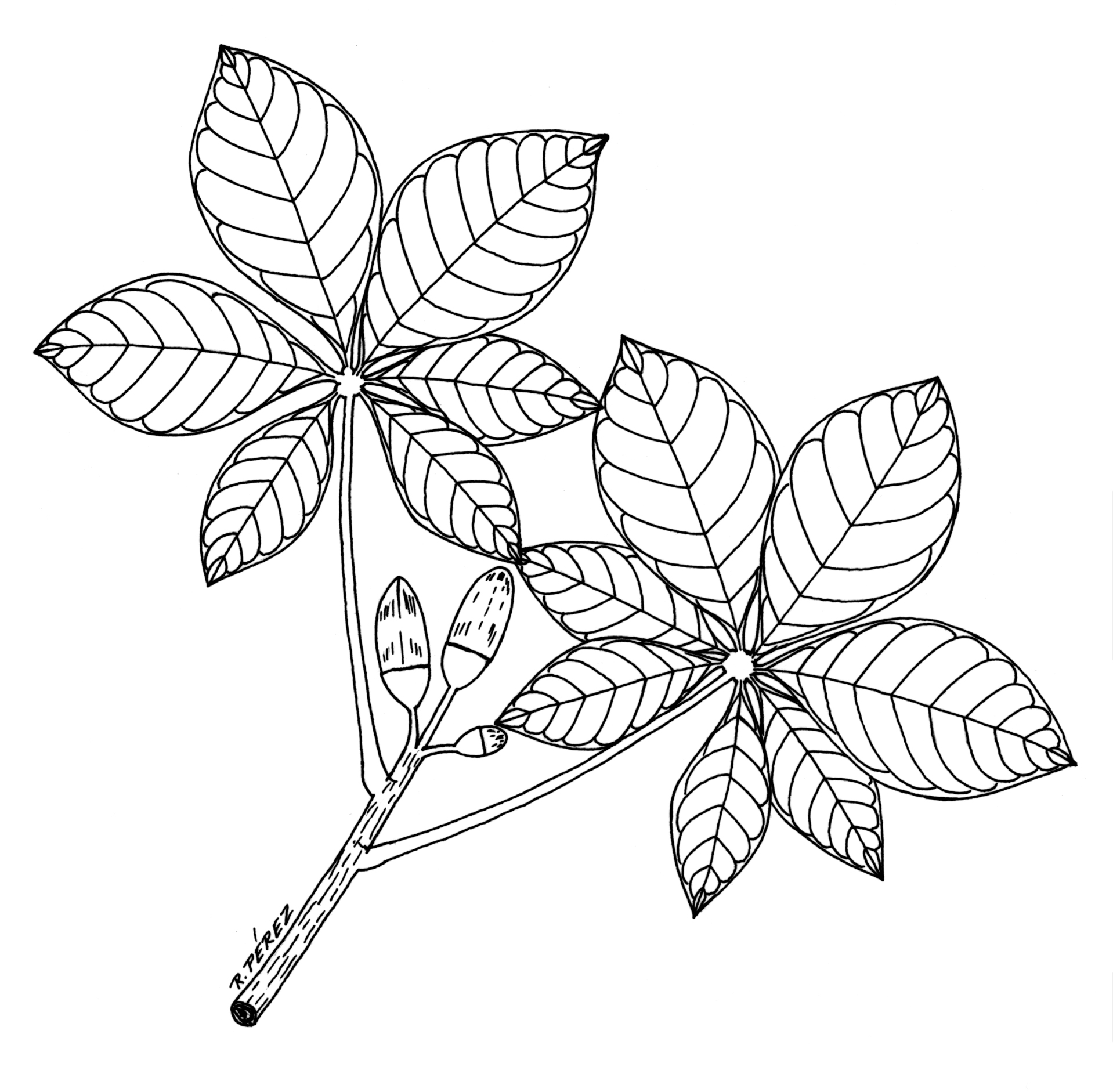 Line Drawing Leaves : Leaves line drawing clipart best