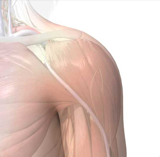 Shoulder anatomy area amp diagram body maps clipart best clipart
