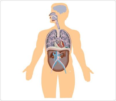 Cartoon human anatomy