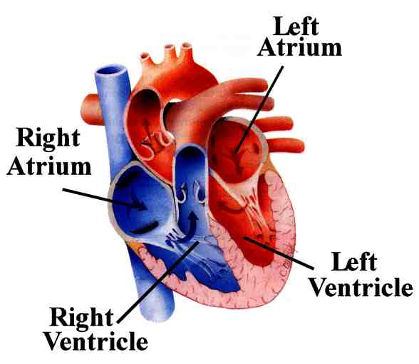 Simple Heart Diagram to Label Heart Diagram Labeled