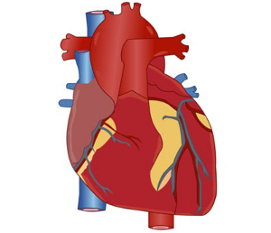 Human Heart Unlabeled - ClipArt Best