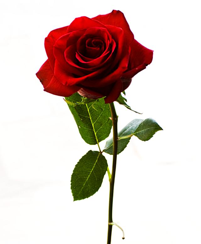 Bunga Mawar Tangkai
