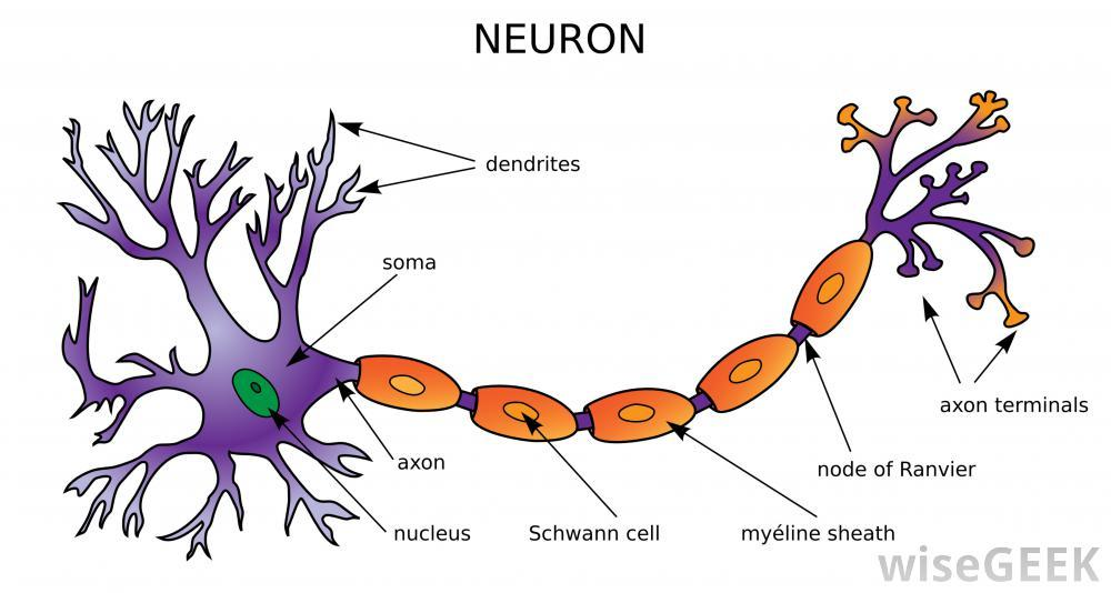 describe how neurons in the central Describe how neurons in the central nervous system communicate using examples, discuss how this has helped us to understand human behaviour describe how neurons communicate and provide detailed account of the bological processes, this should be succinct.
