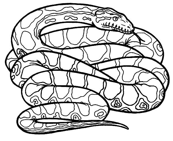 Anaconda drawing