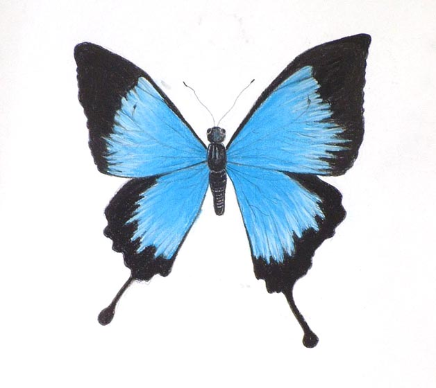 Butterfly Images For Drawing Pastel chalk drawing of a blue