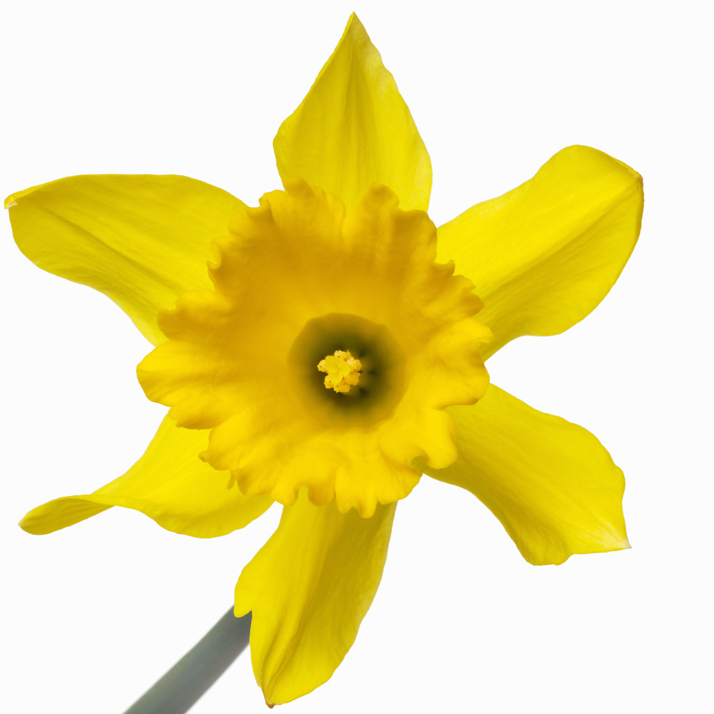 daffodil picture free cliparts that you can download to you computer ...