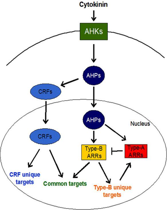 Ribosomes Diagram - ClipArt Best