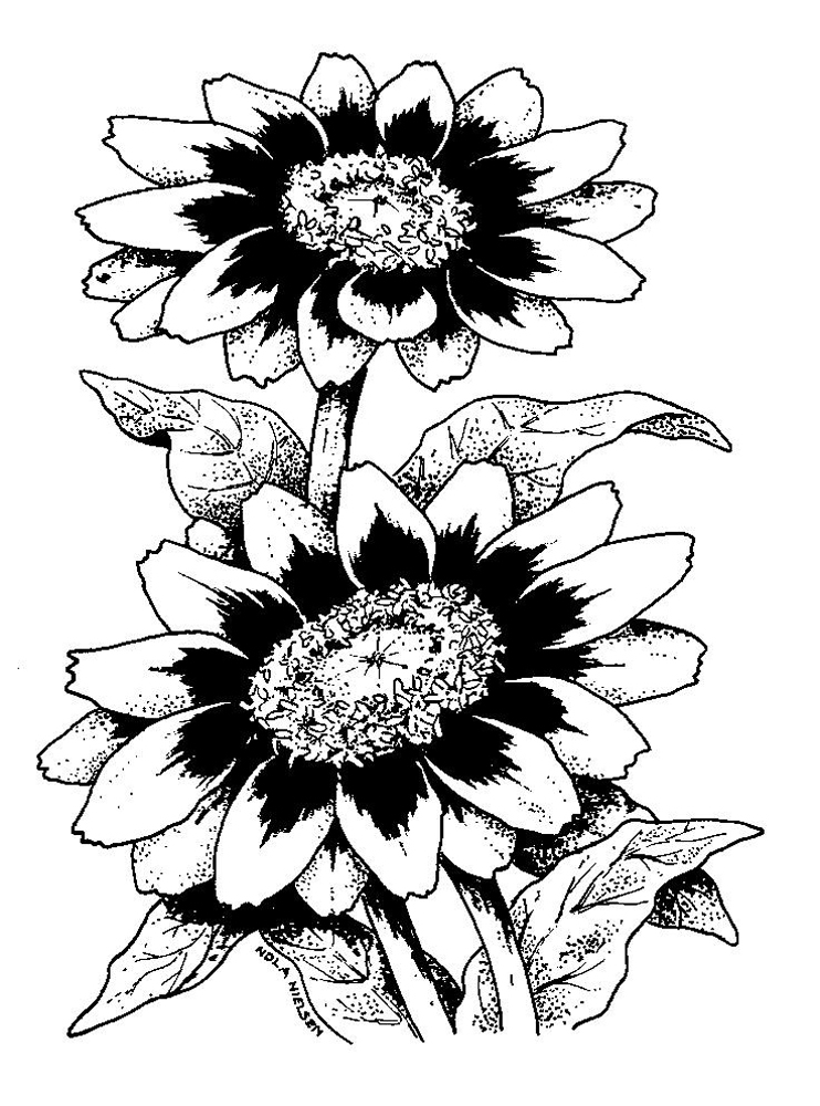 Zinnia Line Drawing : Rose line drawings clipart best