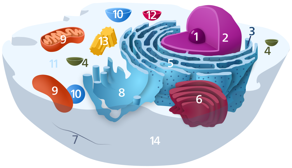 Animal Cell Diagram Without Labels - ClipArt Best
