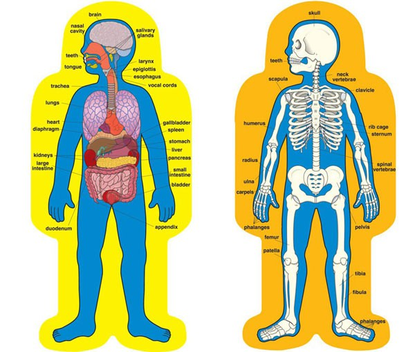 Picture of the organs of the body