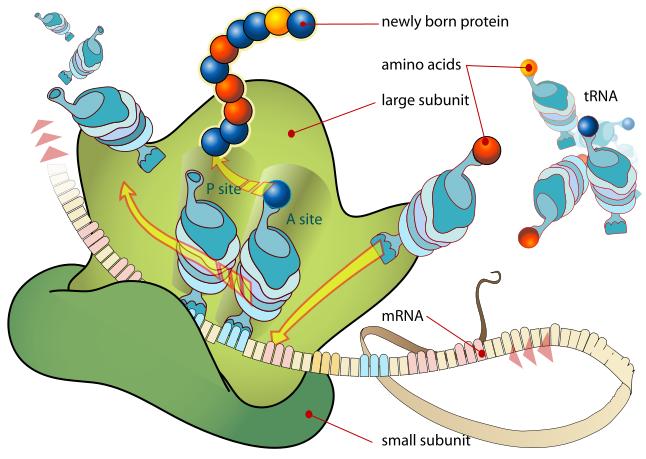 ribosome diagram clipart best : ribosome diagram - findchart.co