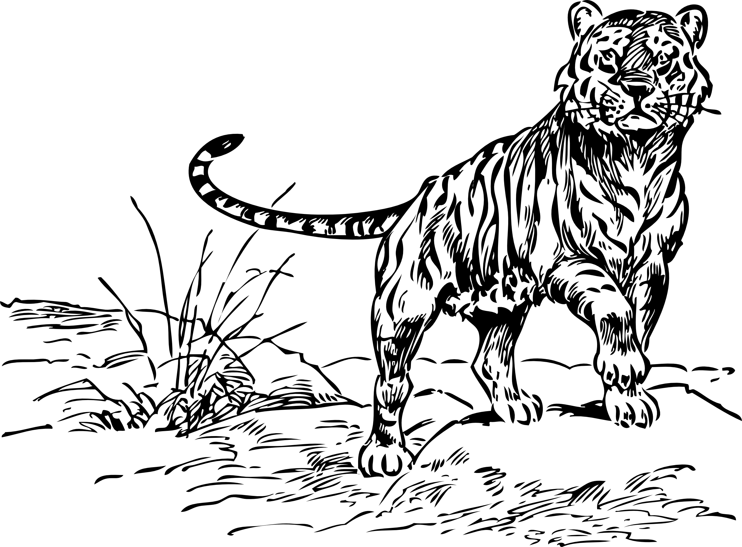 Line Art Tiger : Tiger line drawing clipart best