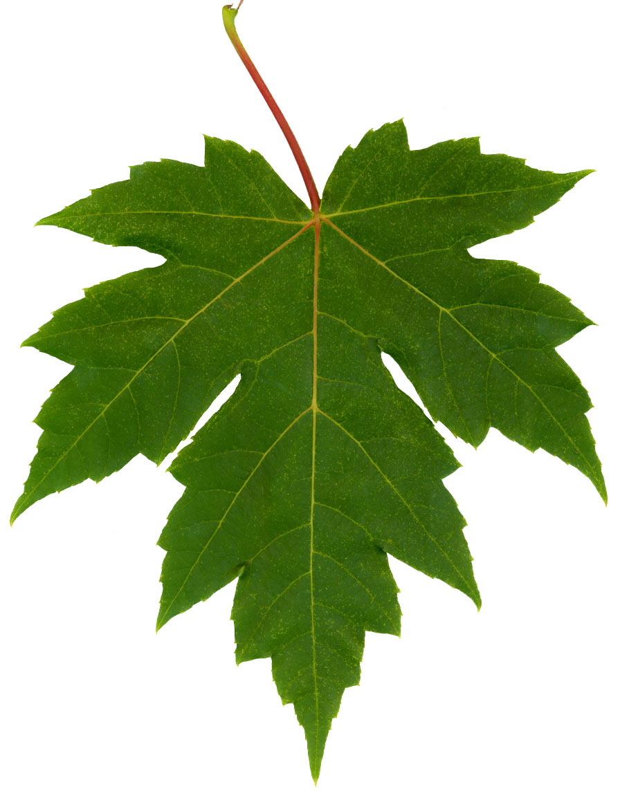 Alfa img - Showing > Green Clip Art Maple Leaves