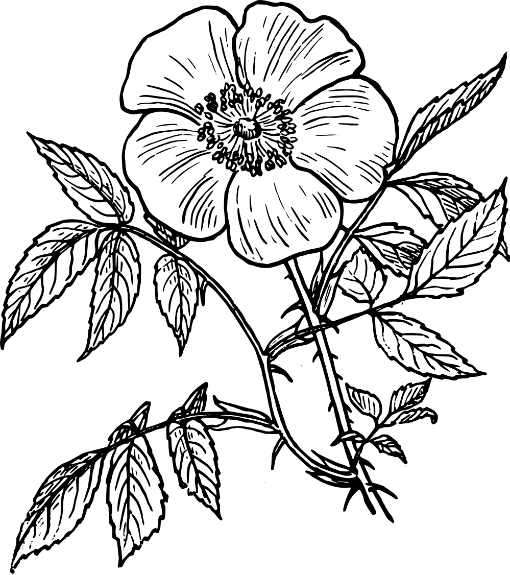 Line Drawing Of Rose Plant : Art drawings of roses clipart best