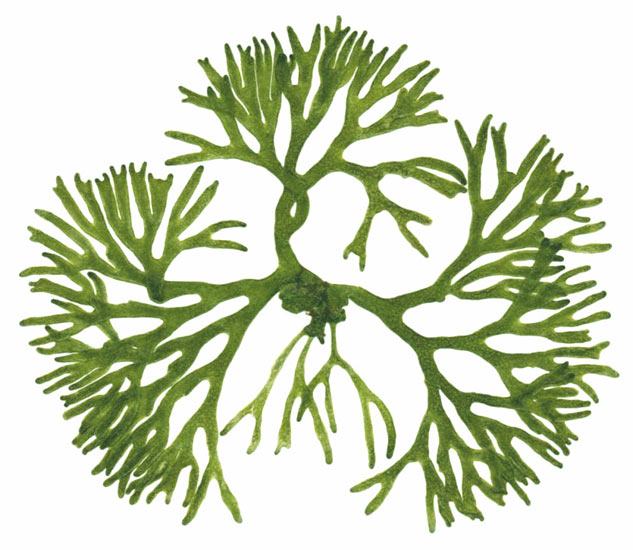 Sea Algae Drawing The Green Algae