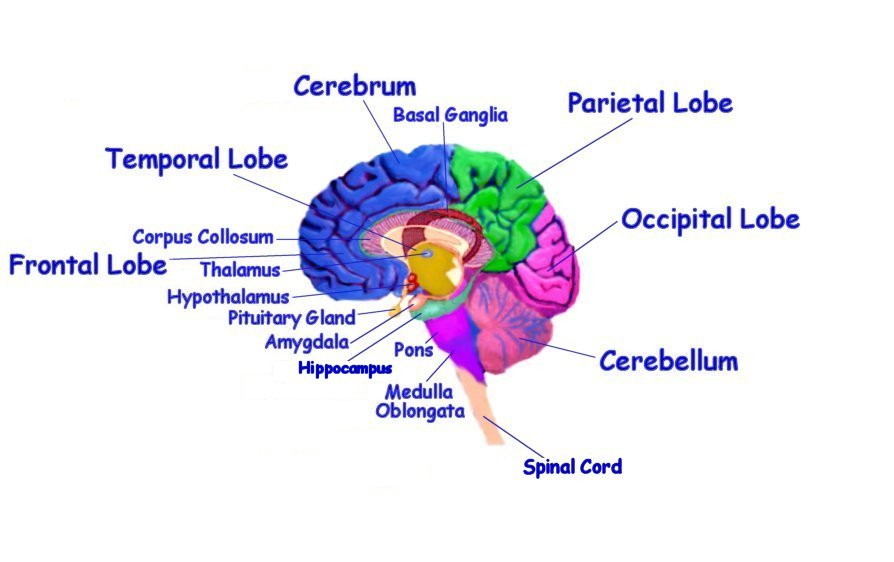 Brain Parts Diagram - ClipArt Best