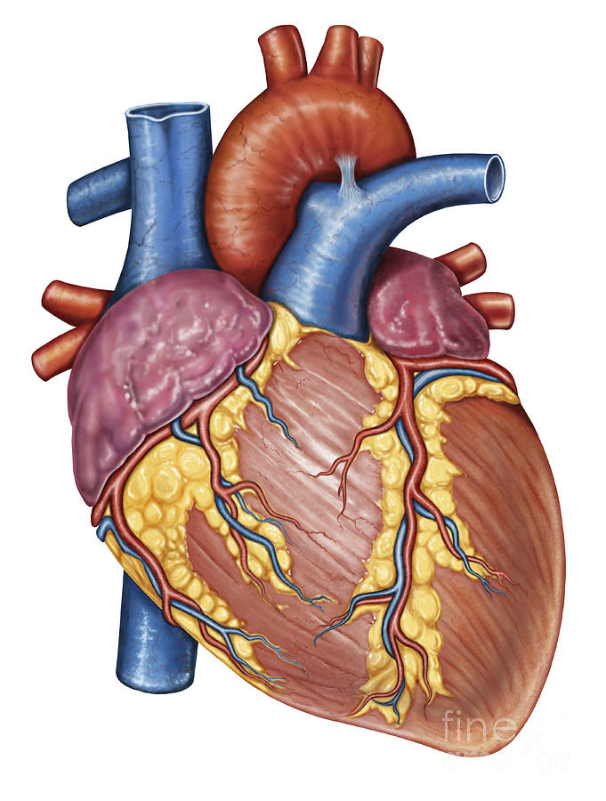 Anatomy Of The Heart Unlabeled - ClipArt Best