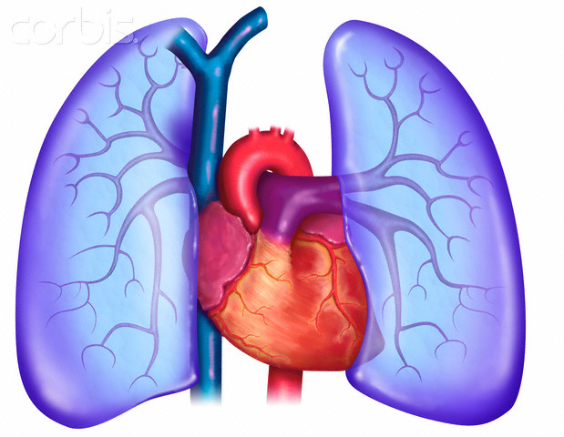 Lung Pictures For Kids - ClipArt Best