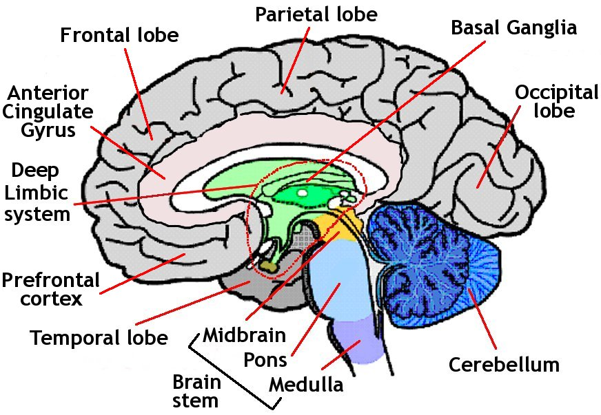 Human Brain Diagram For Kids - ClipArt Best