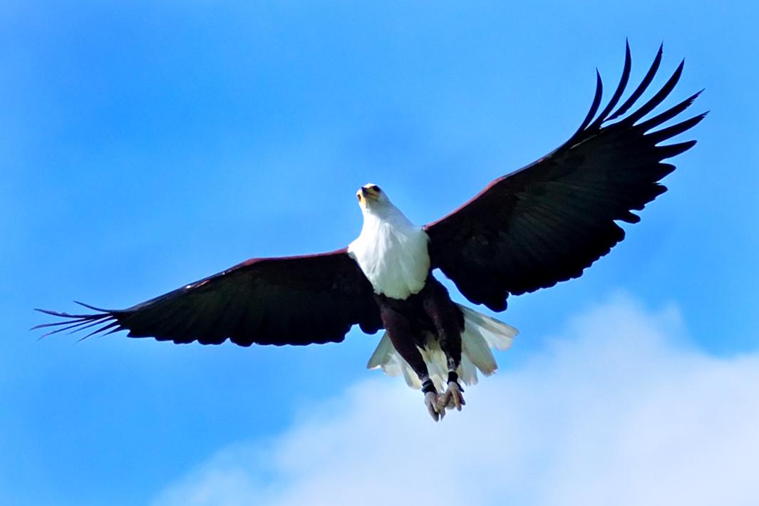 clip art soaring eagle - photo #45