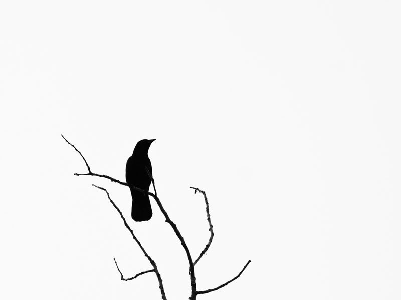 Crow On Branch Silhouette - ClipArt Best