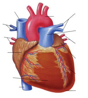 31 Unlabeled Diagram Of The Heart - Wire Diagram Source ...