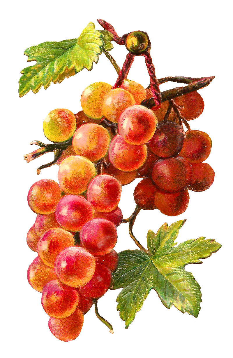 Pictures Of Grapes And Leaves ClipArt Best