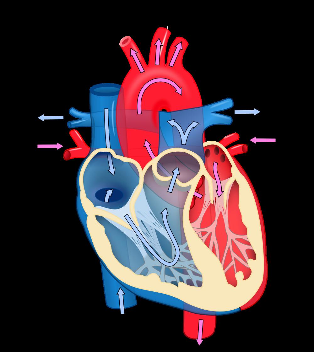 Heart Unlabeled Diagram - ClipArt Best