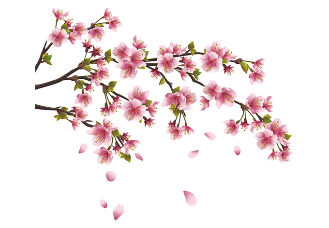Real Cherry Blossom Branch Blossom Branch Cherry