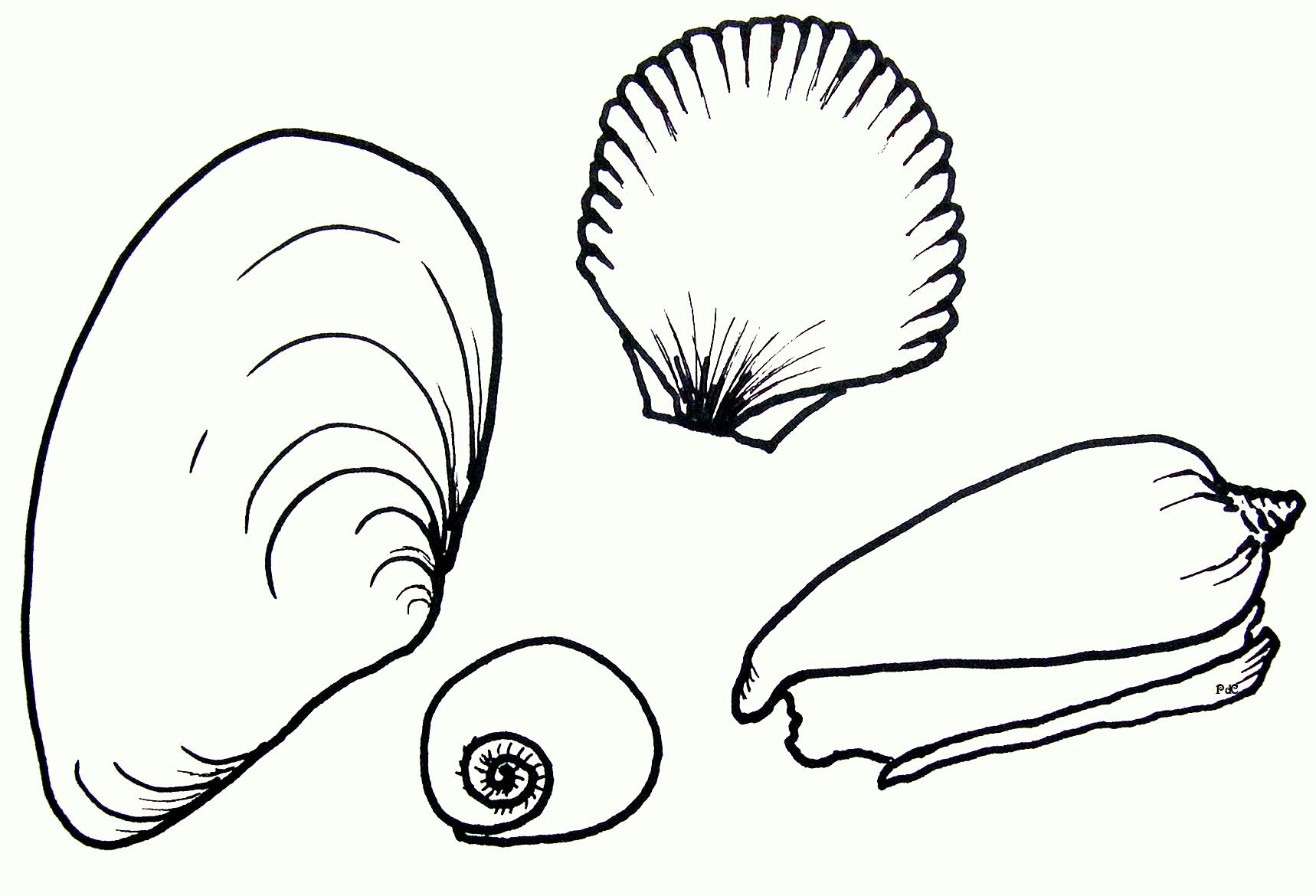 Seashell Drawing - ClipArt Best