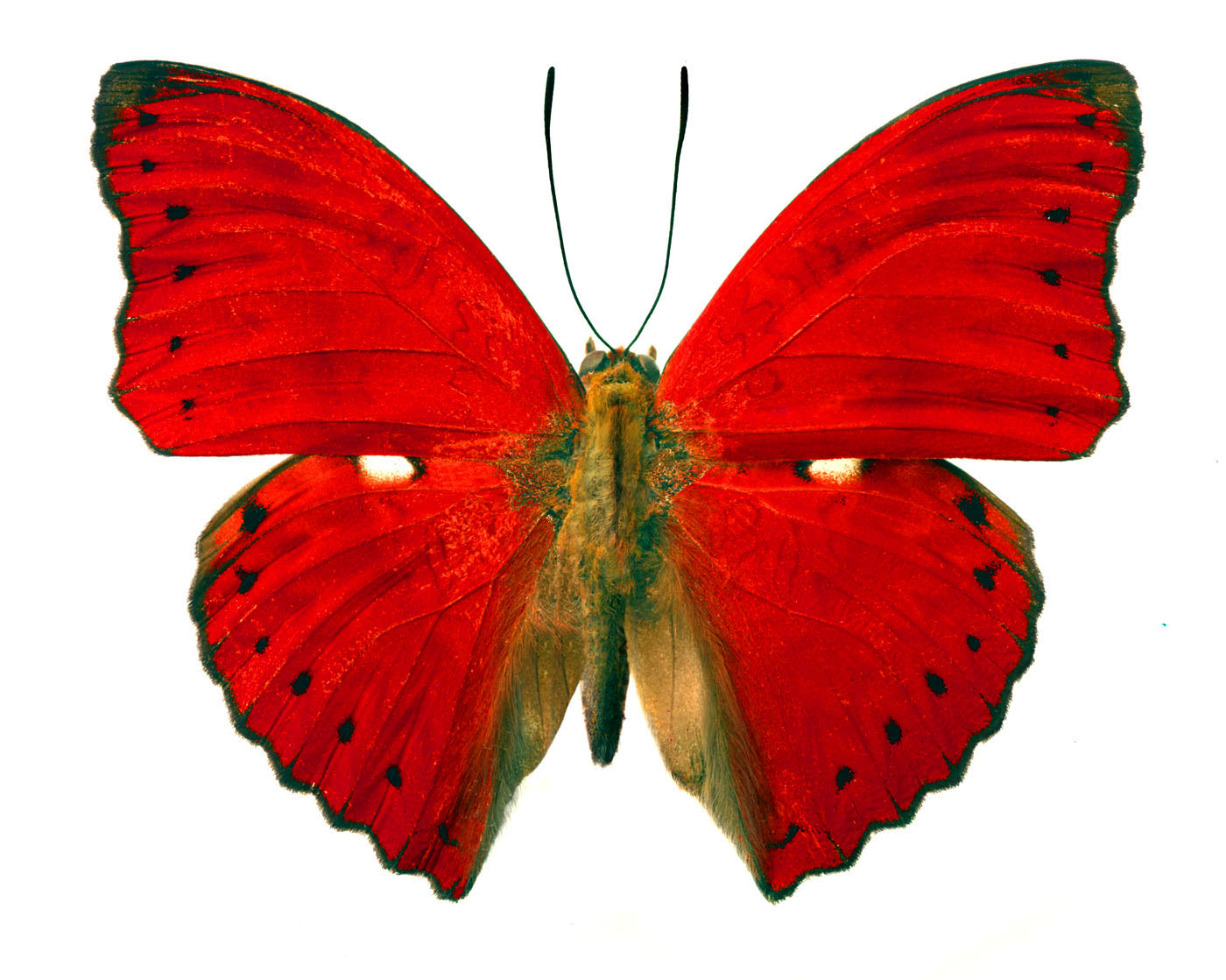 Pictures Of Red Butterflies - ClipArt Best