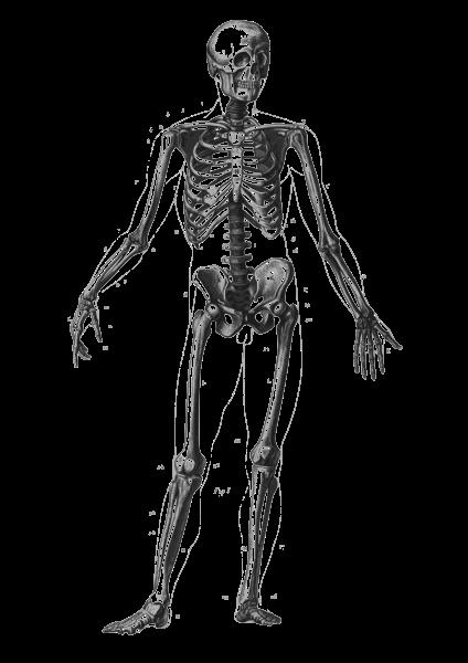skeleton diagram without labels