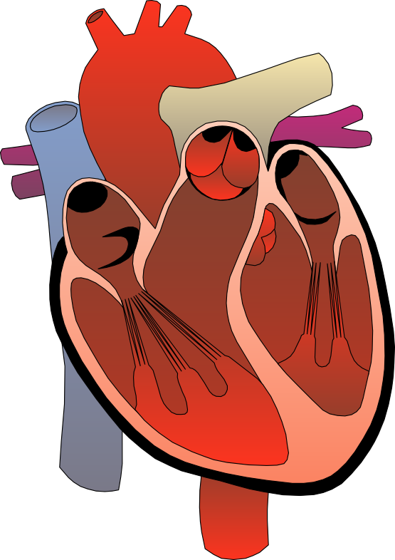 clipart of a human heart - photo #3
