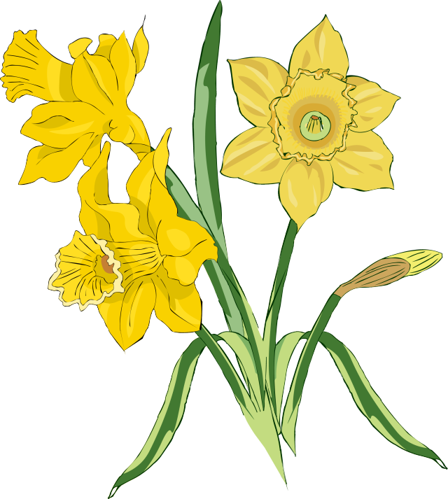 Clip Art Daffodil Clip Art daffodil clip art clipart best free download