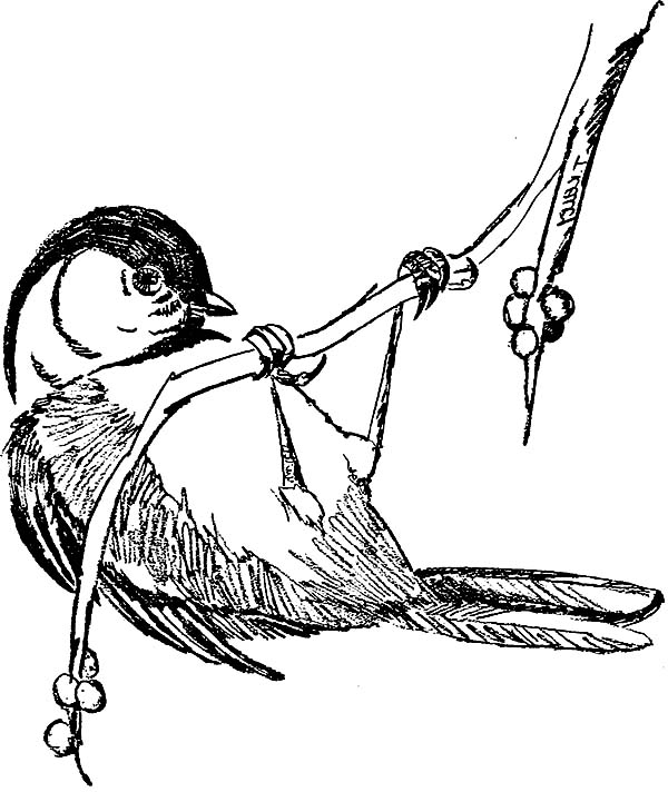 chickadee bird coloring pages - photo#3