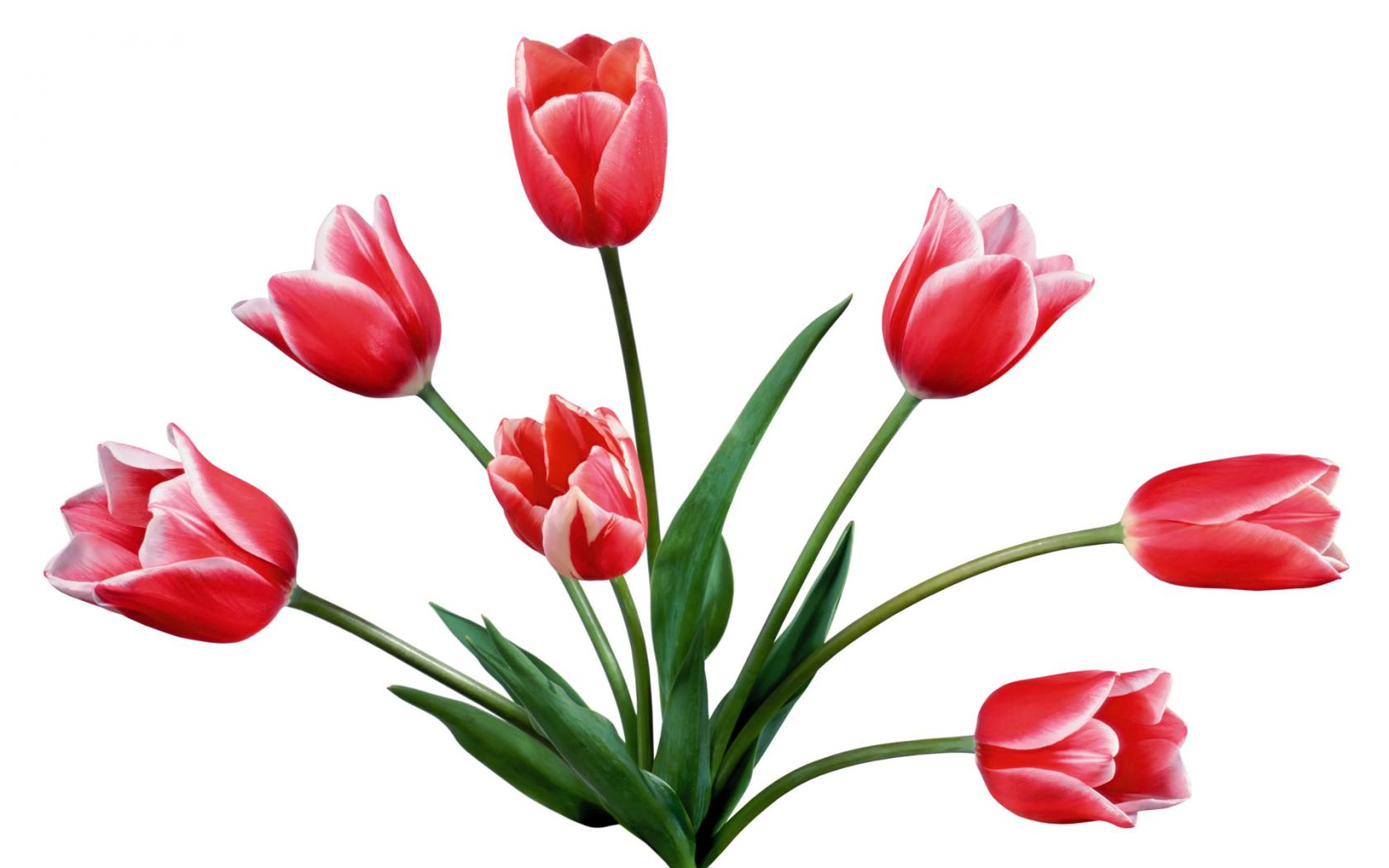 38 tulip drawings . Free cliparts that you can download to you ...