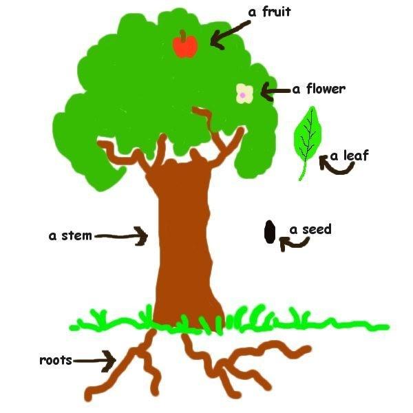 diagram of a plant kids clipart best. Black Bedroom Furniture Sets. Home Design Ideas