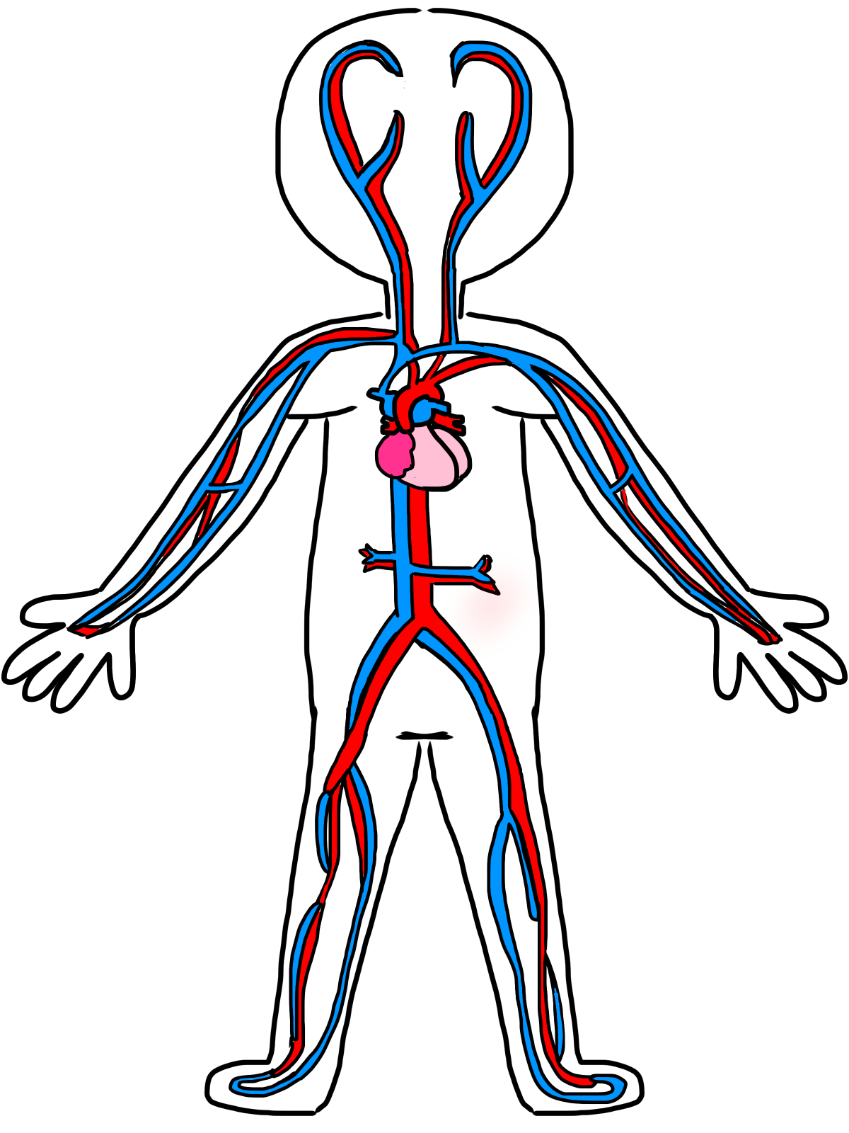 circulatory system no labels - photo #35