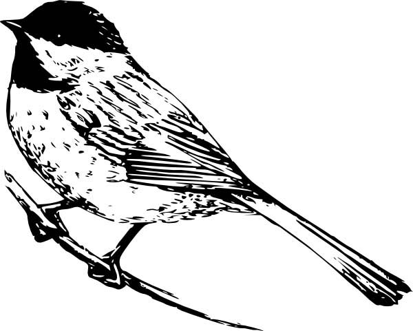 chickadee bird coloring pages - photo#4