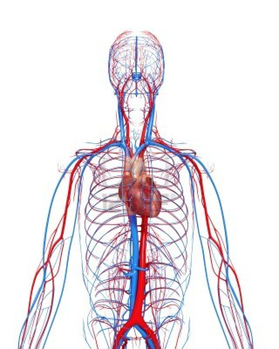 Circulatory System Diagram Not Labeled
